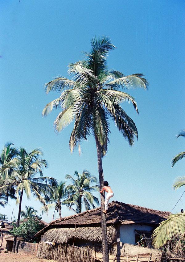 Escalader un cocotier