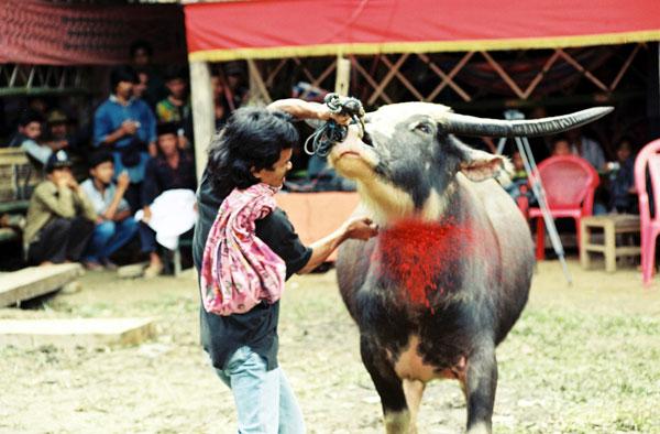 Sacrifice de bufles Inde - Traditions