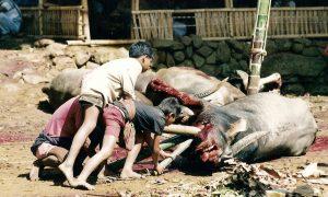 Exécution de buffles en indonésie